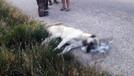 Alayköy'de 10 köpeği güpegündüz zehirlediler!