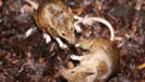Temizlikler yapılmayınca Karpaz'ı fareler bastı!