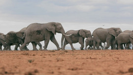 Zimbabve'de 2 ayda 200'den fazla fil öldü