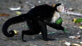 İnsan yüzlü maymuna eş aranıyor