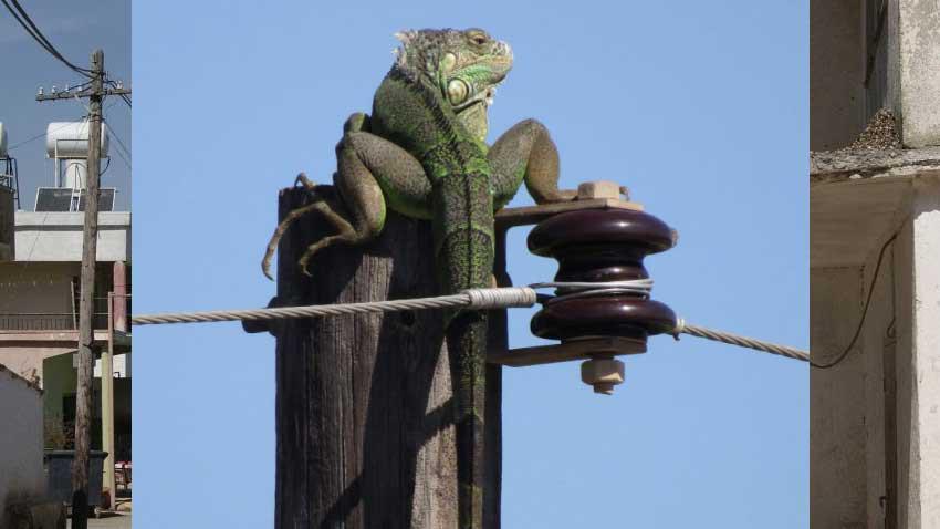 KKTC'de direk tepesindeki iguana korkuttu! İguananın başına neler geldi!